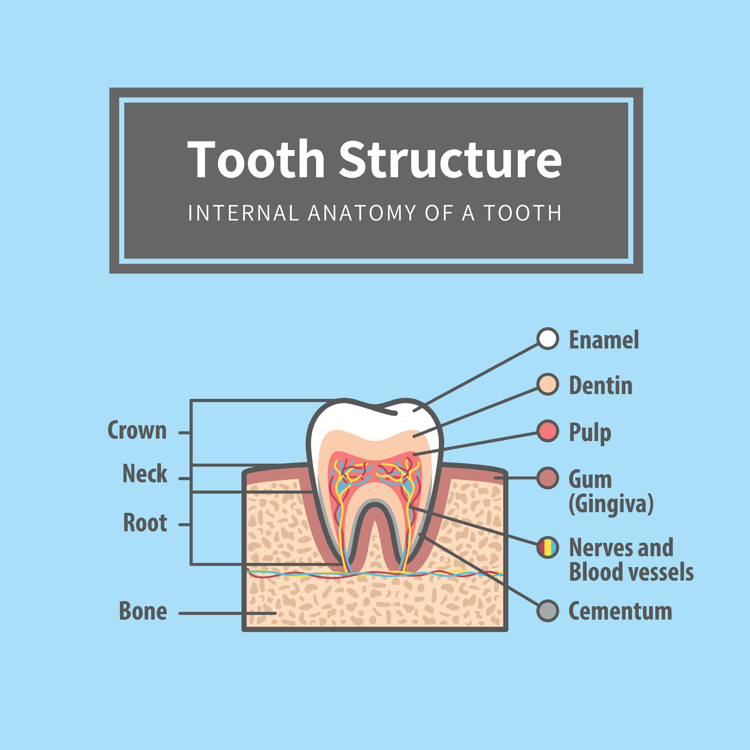 Illustration depicting the internal structure and layers of a tooth